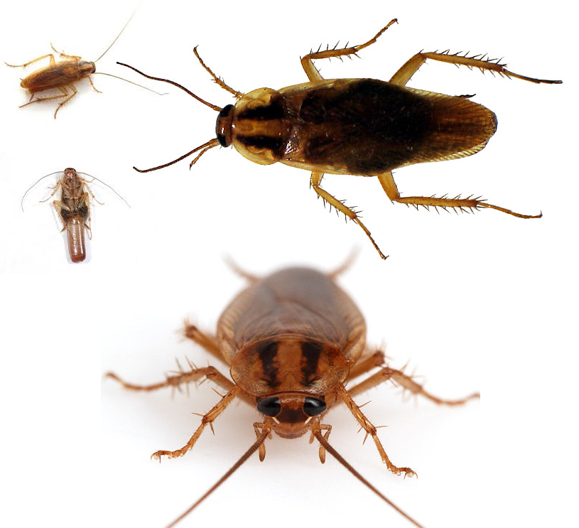 Exycont control de plagas - Por donde salen las cucarachas en el cuarto de bano ...